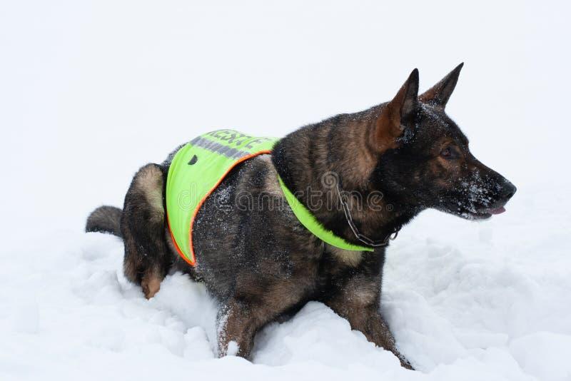 救援队服务的德国牧羊犬 图库摄影