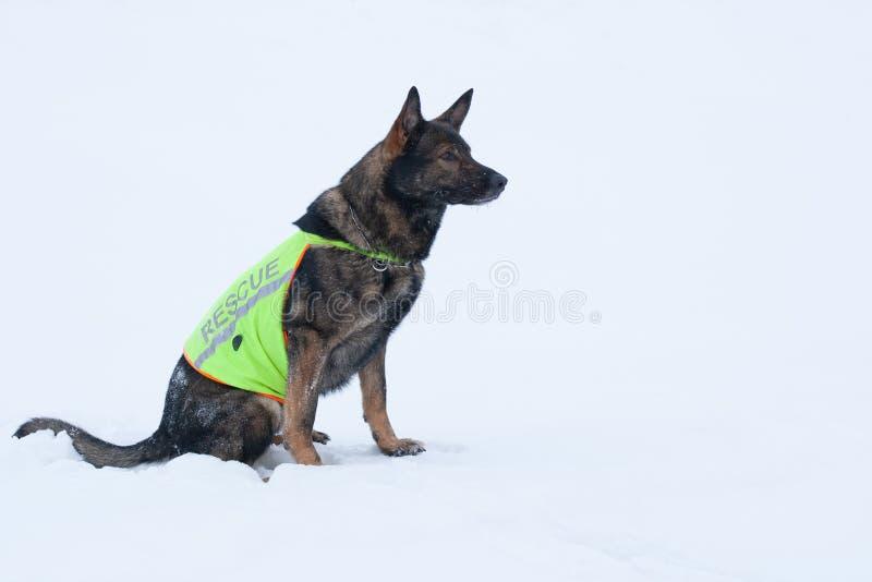 救援队服务的德国牧羊犬 库存图片