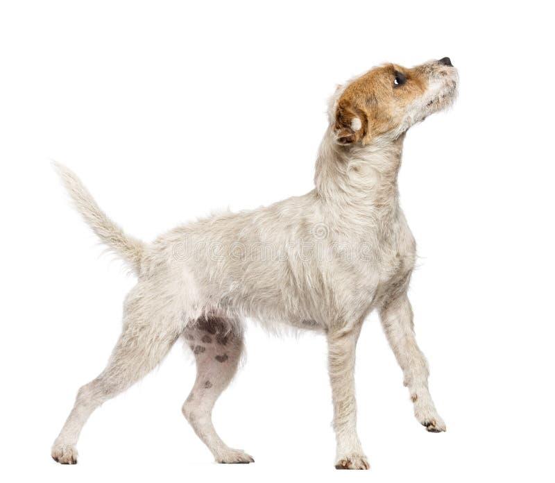 教区牧师走和查寻反对白色后面的罗素狗 免版税库存图片