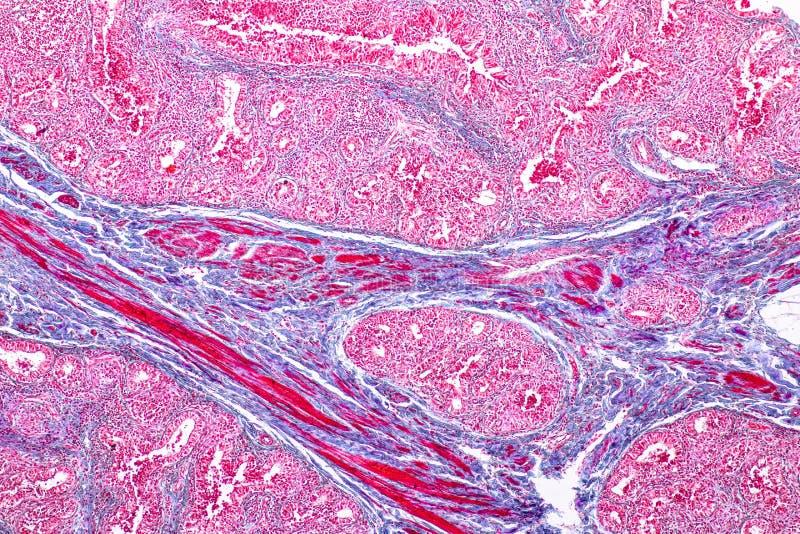 教育乳腺解剖学和生理的概念是在哺乳动物的外分泌腺在微观下 免版税库存照片