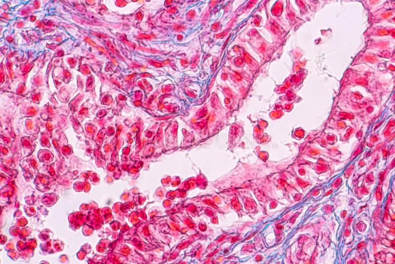 教育乳腺解剖学和生理的概念是在哺乳动物的外分泌腺在微观下 库存照片