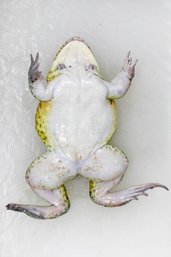 教育青蛙解剖学和生理的概念在实验室 图库摄影