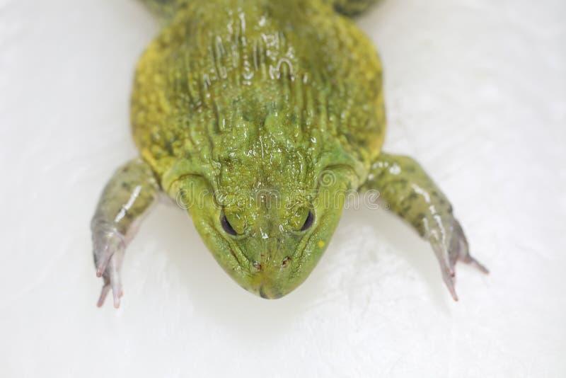 教育青蛙解剖学和生理的概念在实验室 库存照片
