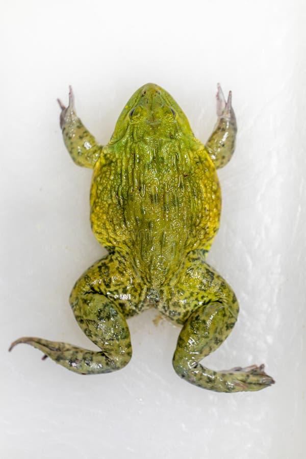 教育青蛙解剖学和生理的概念在实验室 免版税库存照片
