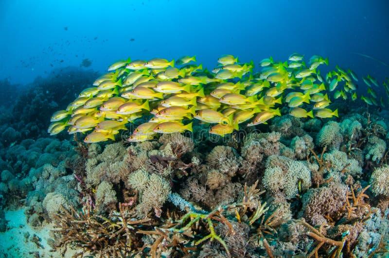 教育bluestripe攫夺者Lutjanus kasmira在Gili,龙目岛,努沙登加拉群岛Barat,印度尼西亚水下的照片 库存图片