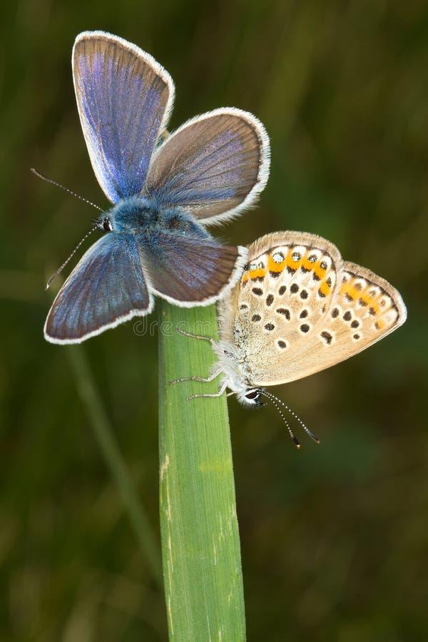 散布的阿格斯蓝色蝴蝶plebejus银 免版税图库摄影