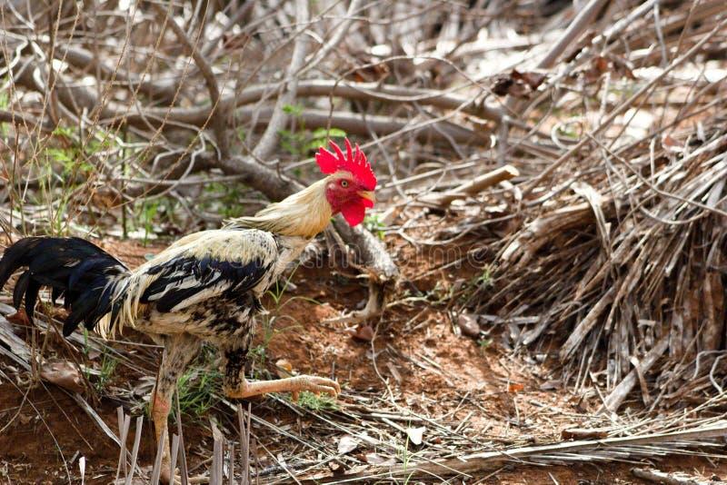 散步在农场附近的雄鸡 图库摄影