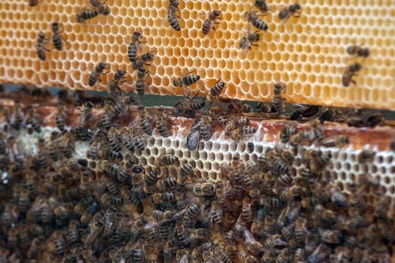 数千在蜂窝的蜂用蜂蜜 收集花蜜和放入六角细胞的蜂在返回到蜂箱以后 库存图片