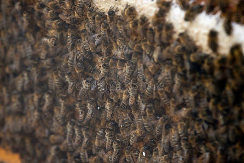 数千在蜂窝的蜂用蜂蜜 收集花蜜和放入六角细胞的蜂在返回到蜂箱以后 免版税库存图片