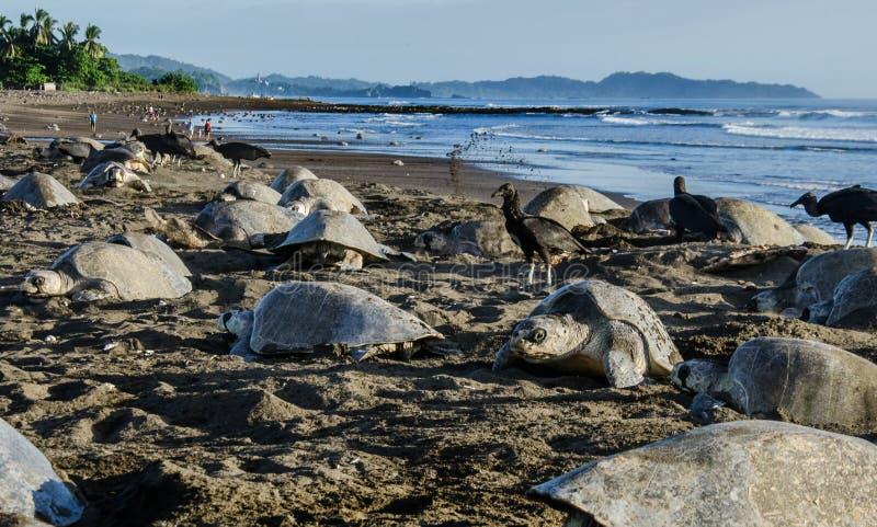 数千海龟在Ostional日间下鸡蛋- Arribada 库存图片