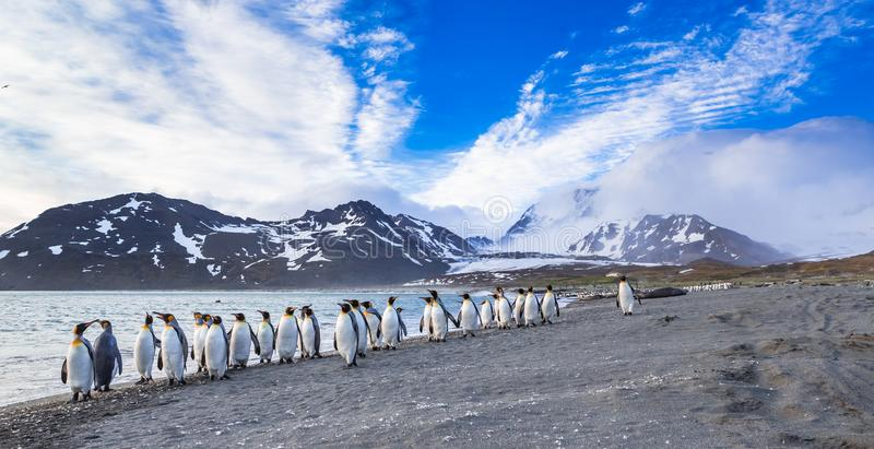 数百企鹅国王从形成在冰川的重的风逃跑 免版税库存照片