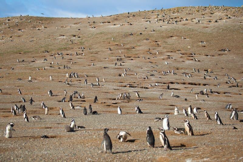 数百magellanic企鹅 免版税库存图片
