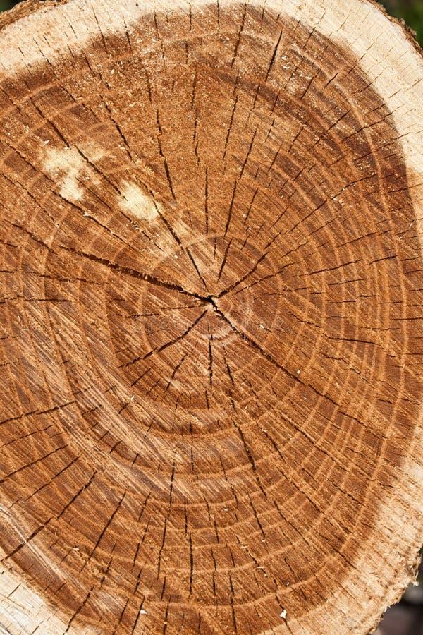 敲响结构树 免版税库存图片