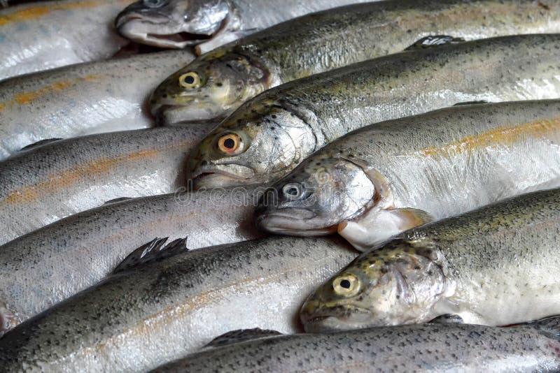 整个未加工的鳟鱼鱼 免版税库存照片