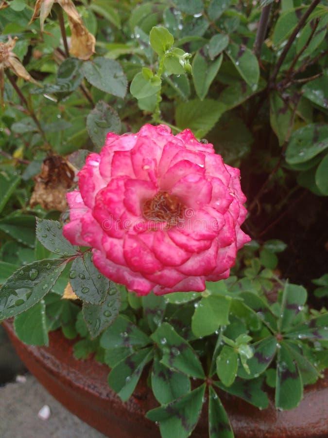 整洁桃红色的玫瑰狂放和 库存图片