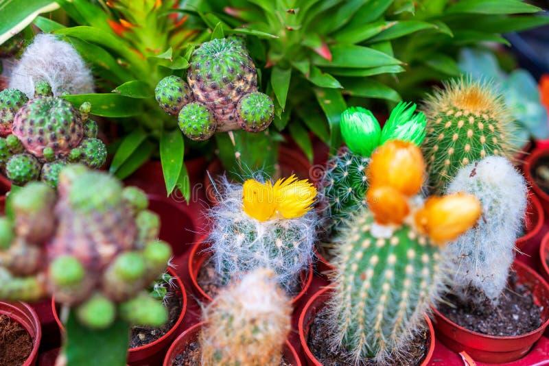 整洁的小的仙人掌,花,装饰热带植物 免版税库存图片