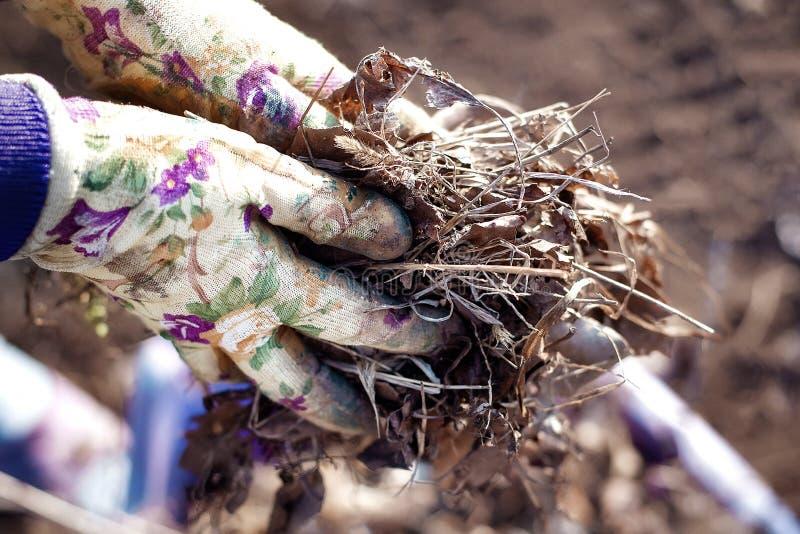 整理的春天:接近在收集老叶子和干燥玻璃的运作的手套的花匠手 免版税库存图片