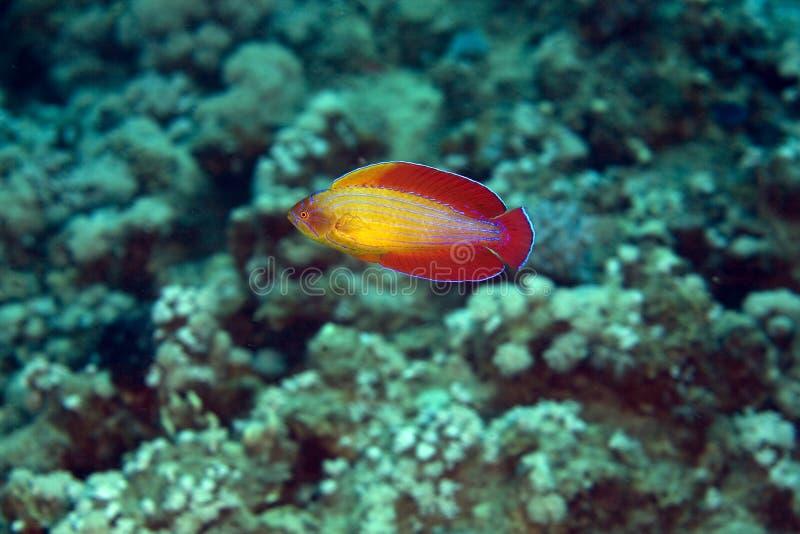 敷金属纸条octotaenia paracheilinus红海濑鱼 免版税库存照片