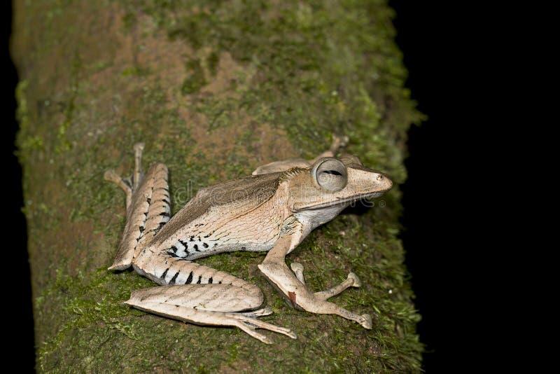 文件有耳的雨蛙 库存图片