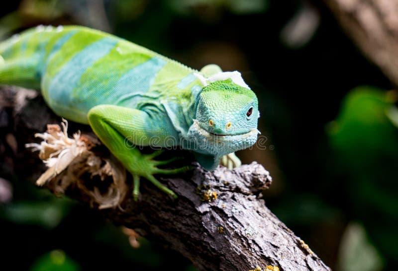 斐济取缔了鬣鳞蜥 库存图片