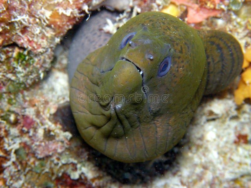 斐济巨型绿色海鳗 免版税图库摄影