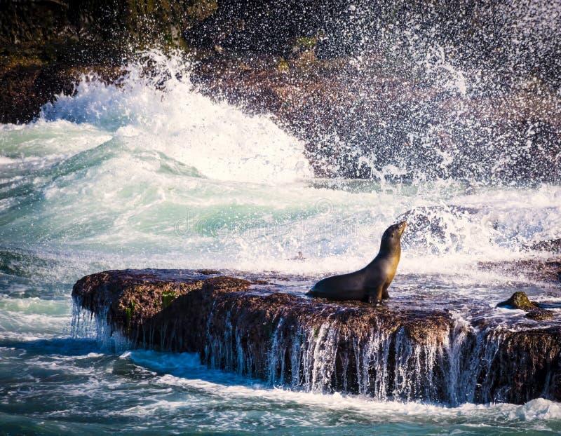 封印和海浪, La Jolla,加利福尼亚 免版税库存照片