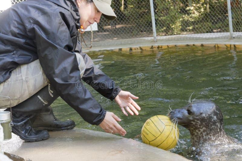 斑海豹训练 库存图片