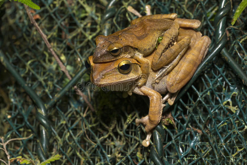斑点有腿雨蛙联接 库存照片