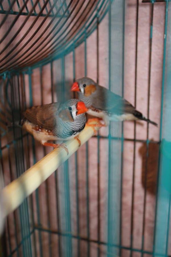 斑胸草雀 免版税库存图片