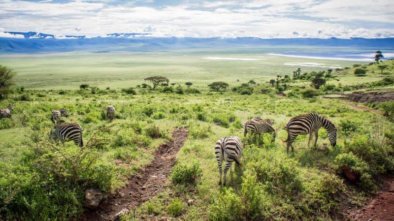 斑马吃草, Ngorongoro火山口,非洲 免版税库存图片