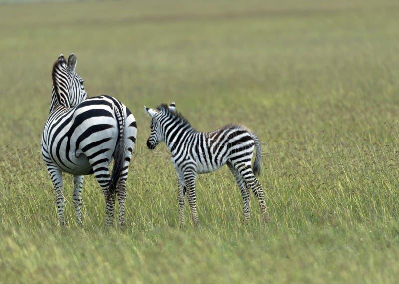 斑马和小斑马在绿色领域 库存图片