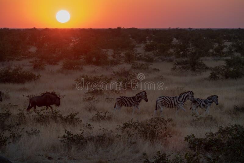 斑马和牛羚 免版税库存图片