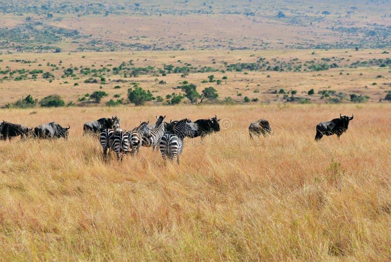 斑马和角马在肯尼亚,马塞语玛拉 免版税库存照片