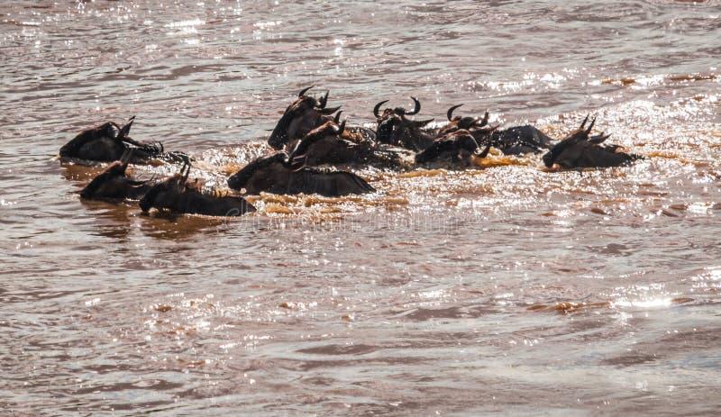 斑马和角马在迁移时从塞伦盖蒂马塞语的M 免版税库存照片