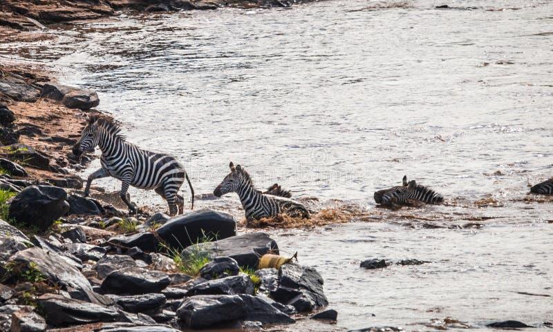 斑马和角马在迁移时从塞伦盖蒂马塞语的M 图库摄影