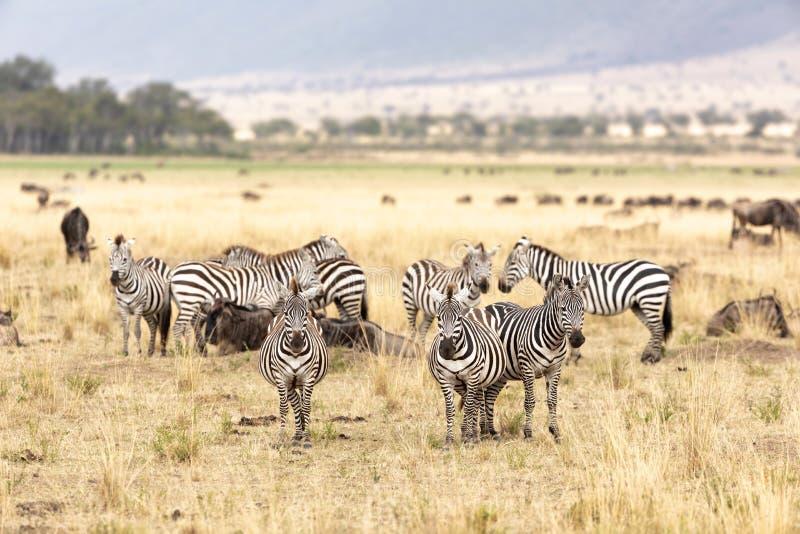 斑马和角马在马塞人玛拉的草原 免版税图库摄影