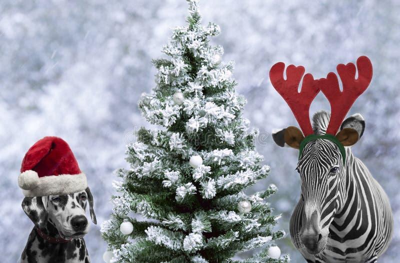 斑马和达尔马提亚狗狗 免版税库存照片