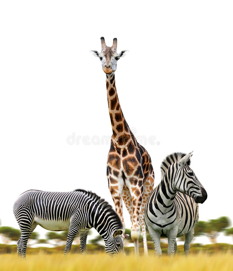 斑马和长颈鹿在白色背景 免版税库存照片
