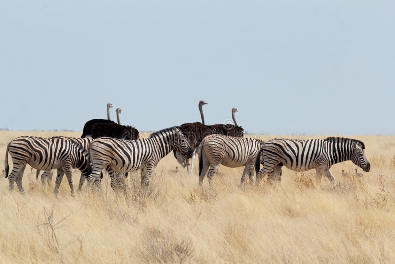 斑马和驼鸟在非洲灌木 图库摄影