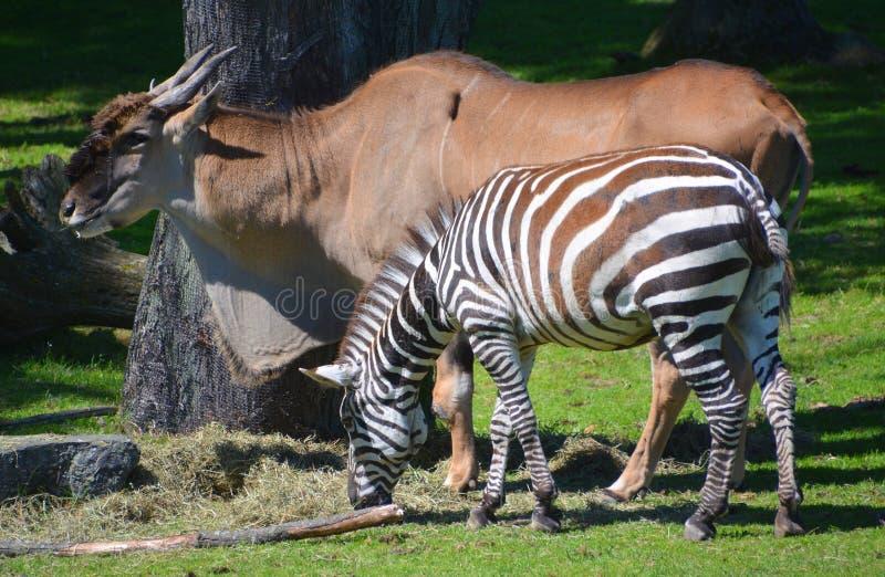 斑马和commun eland 免版税库存照片