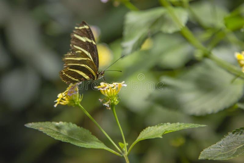 斑马喝从马樱丹属的Longwing蝴蝶 库存图片