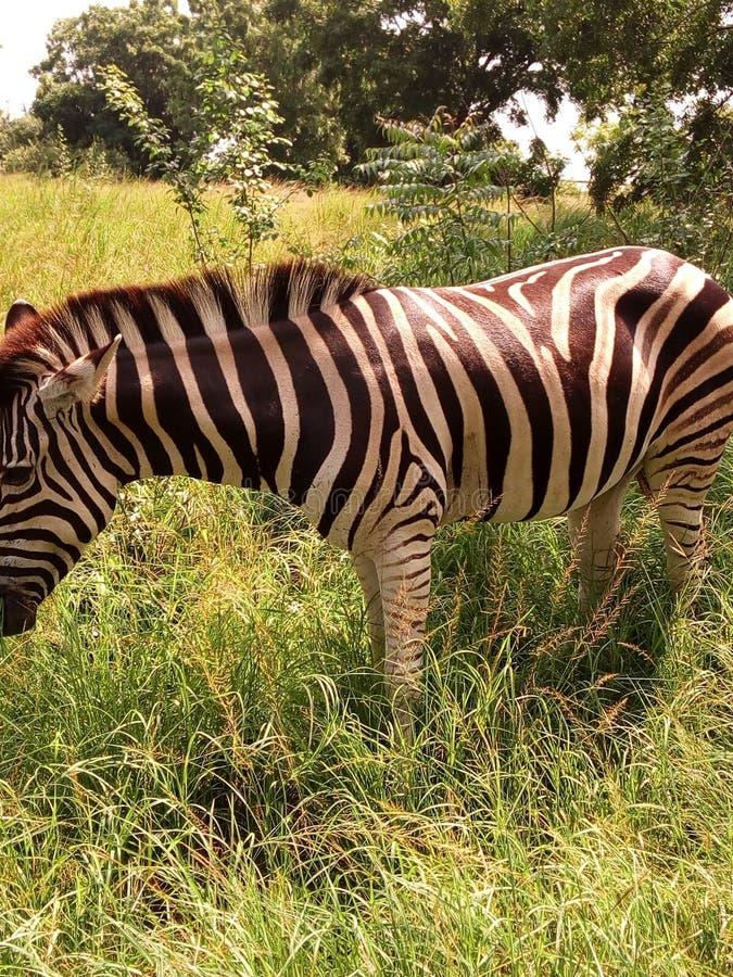 斑马在加纳 库存照片