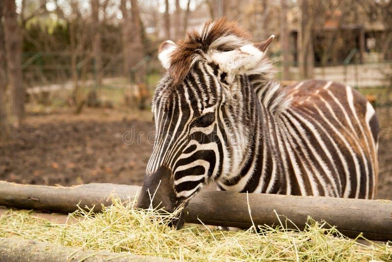 斑马在动物园吃干草 免版税库存图片