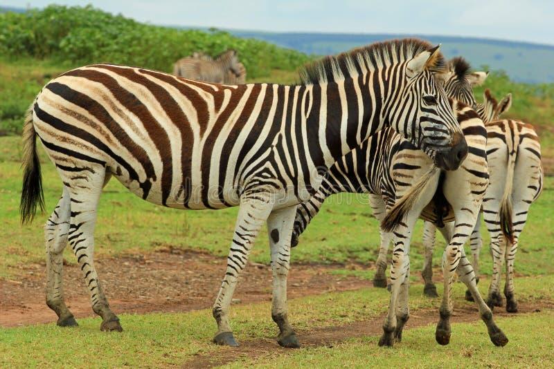 斑马在徒步旅行队公园,南非 免版税图库摄影