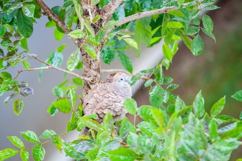 斑马在树枝的鸠鸟 库存照片