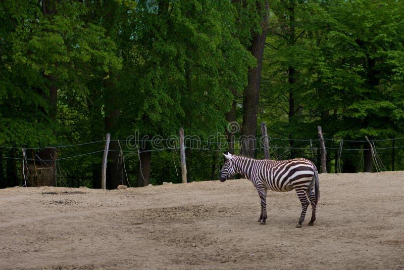 斑马在森林里 免版税图库摄影