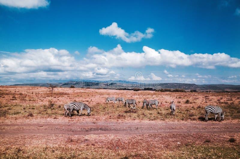 斑马在肯尼亚的国家公园 免版税库存图片