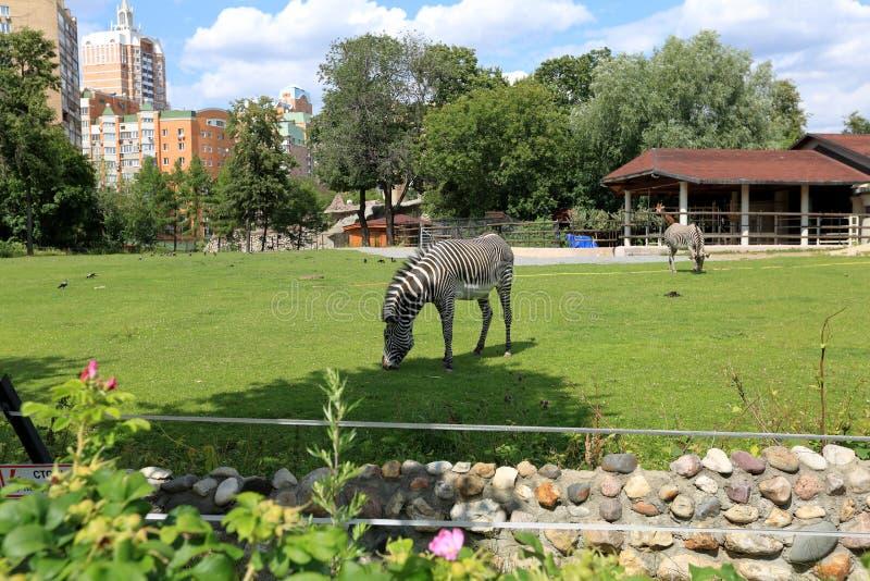 斑马在莫斯科动物园里 免版税库存图片