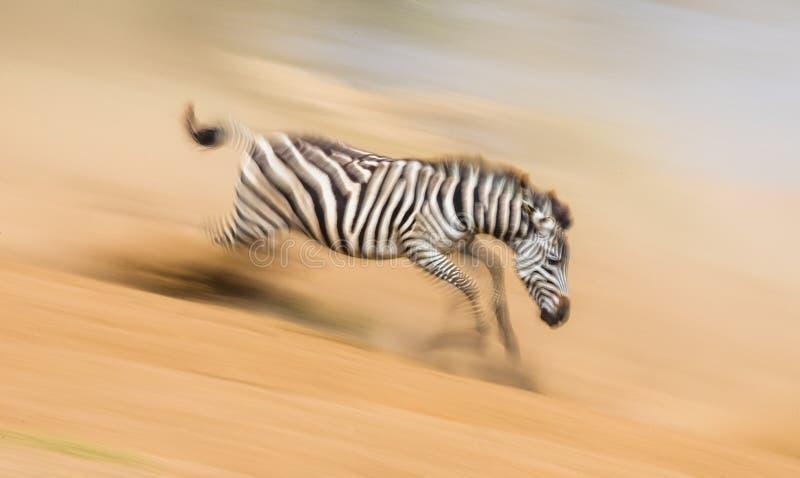斑马在行动的尘土跑 肯尼亚 坦桑尼亚 国家公园 serengeti mara马塞语 免版税库存照片