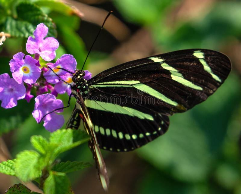 斑马在马樱丹属的Longwing蝴蝶 库存照片